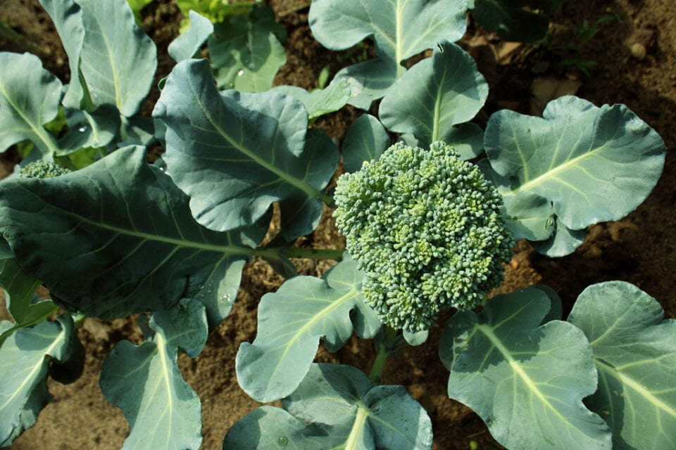 Animage of a brocolli plant