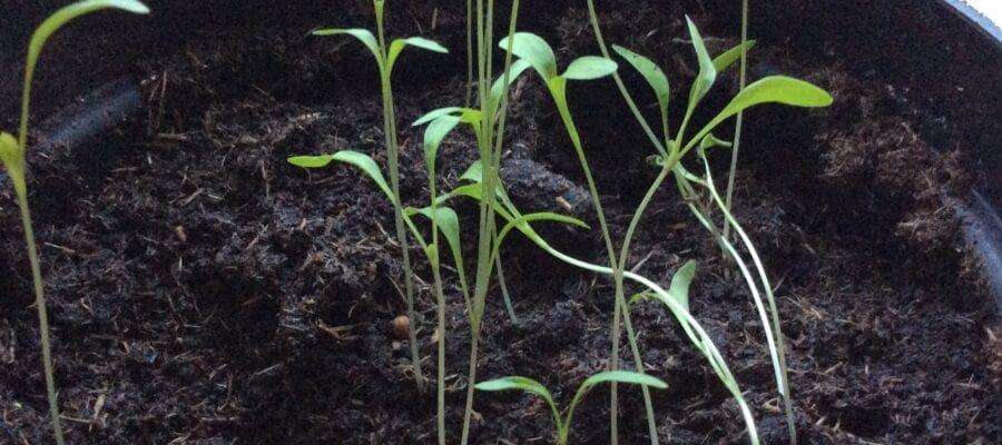Oh no! Leggy Seedlings!