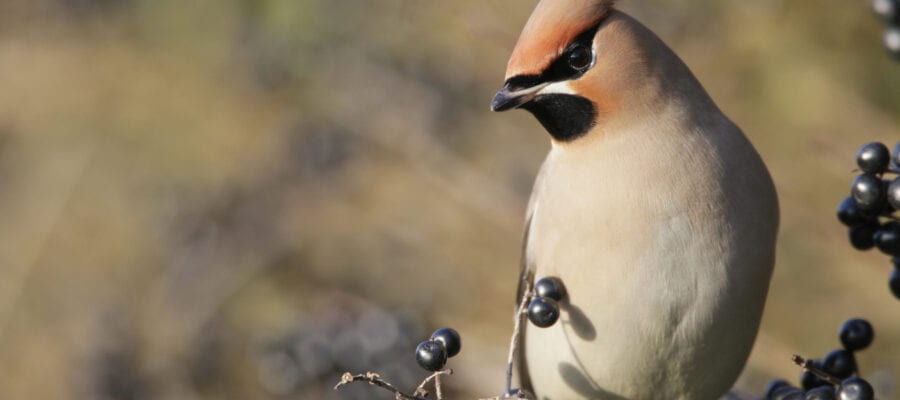 Birdwatch records a 'waxwing winter'