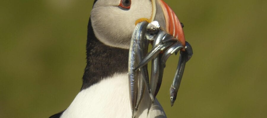 Help save puffins from home – join the Puffarazzi!