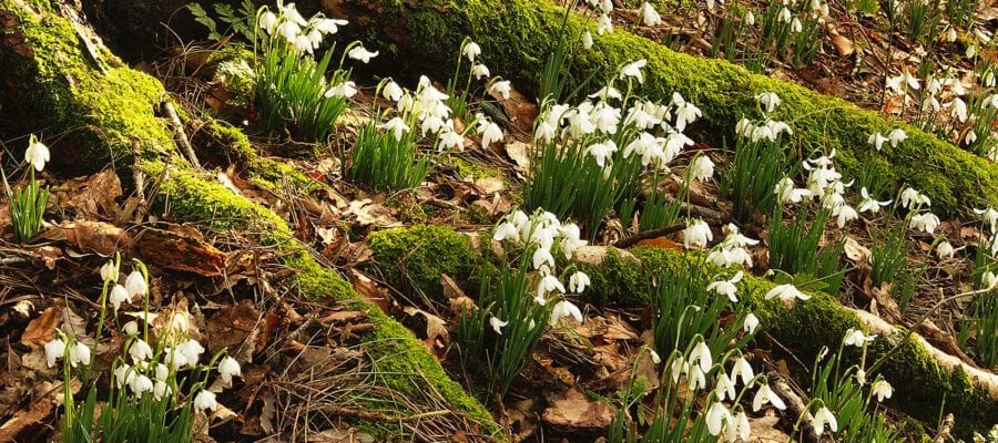 Snowdrop Festival at Pinetum Park