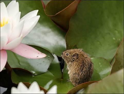Endangered Water Voles found at Hole Park Gardens