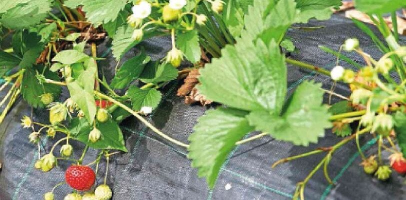 Fruit At A Glance: Summer Strawberries