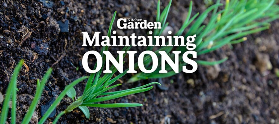 Video: How to Maintain Onions as They Grow