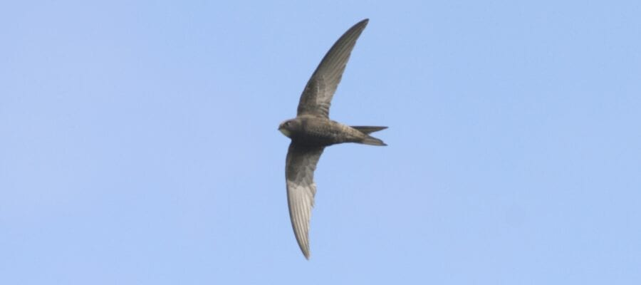 Swifts are the best tenants you can hope for