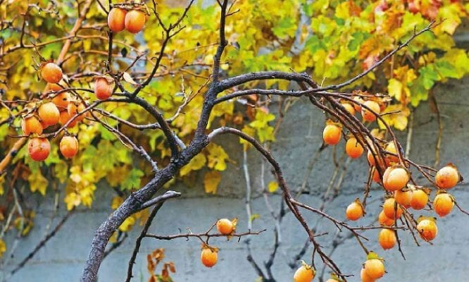 Fruit At A Glance: Persimmons