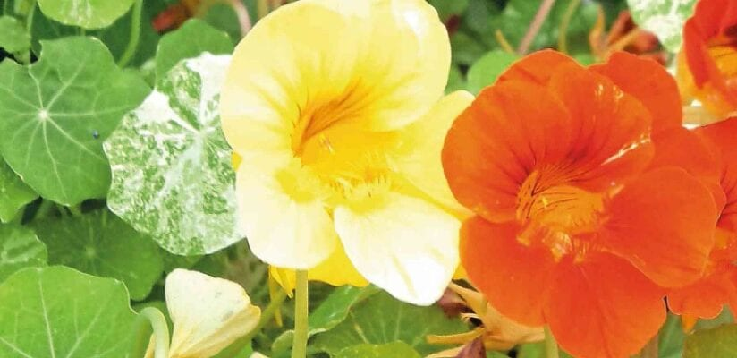 The Virtues Of Nasturtiums