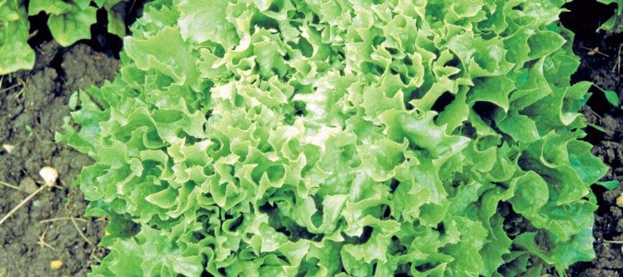 66-Lettuce-homegrown-6-1