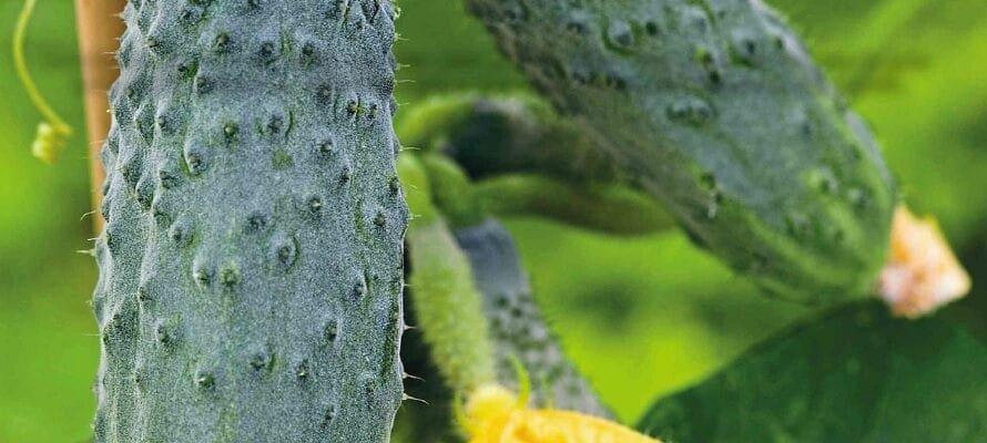 Veg At A Glance: Cornichons