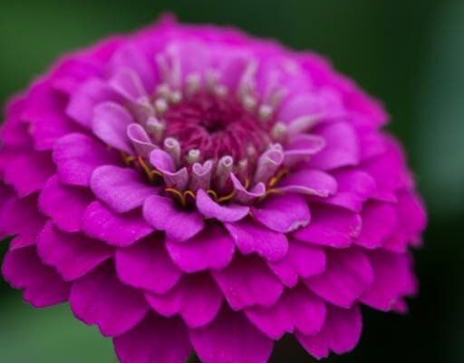 New stunning Zinnia 'Lilliput Purple'