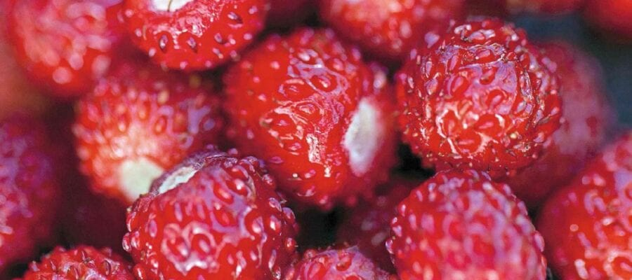 Fruit At A Glance: Alpine Strawberries