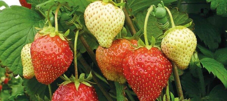 Strawberry: Tour De Force
