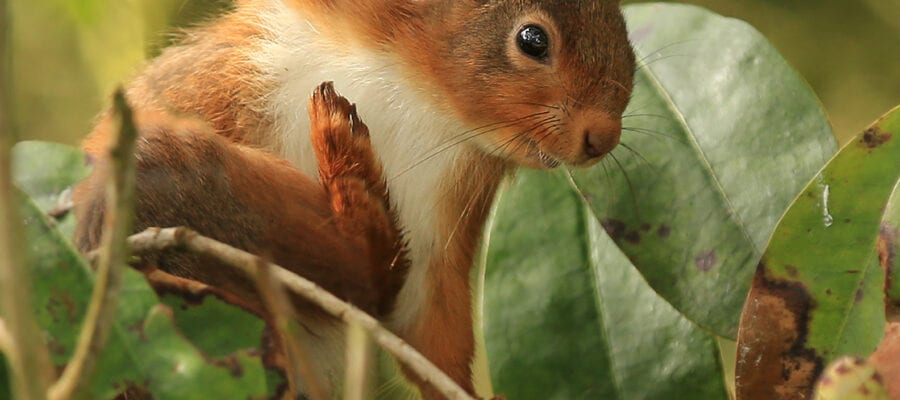 Red squirrels need your help