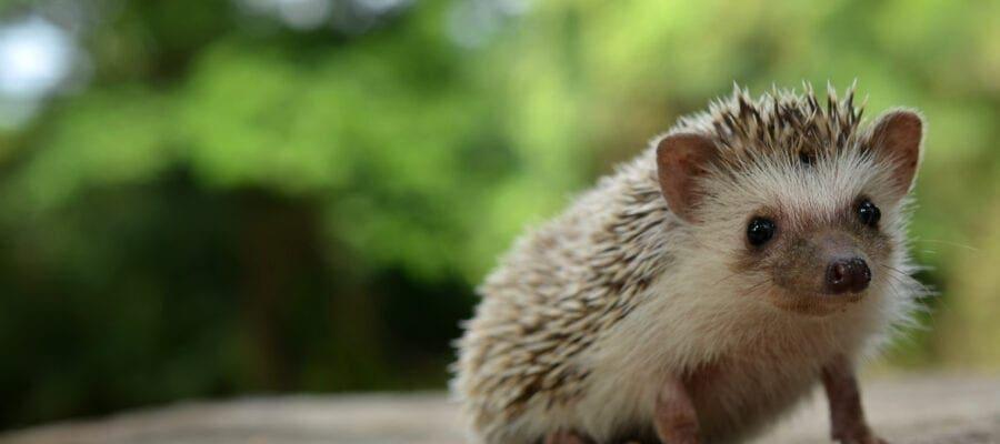 'Hedgehog Housing Census'