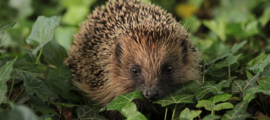 How gardeners can give hope to hedgehogs