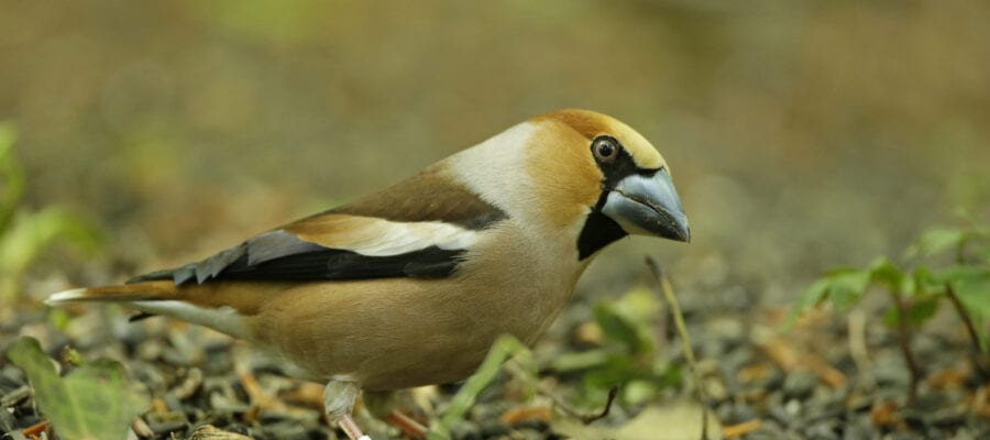 Rare finch causes hearts to flutter
