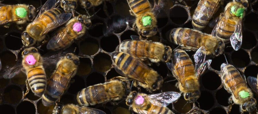 Glyphosate harms honey bees, says new study