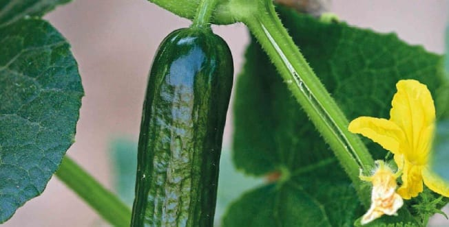 Back To Basics with Cucumbers
