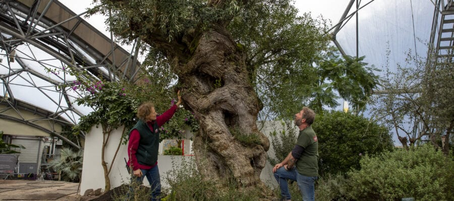 Trio of giant olive trees planted in Med garden at Eden