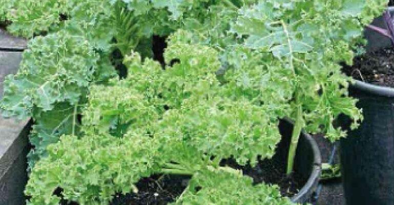 Back To Basics With Kale