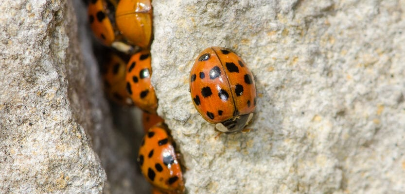 Ladybirds swarm indoors after long, hot summer