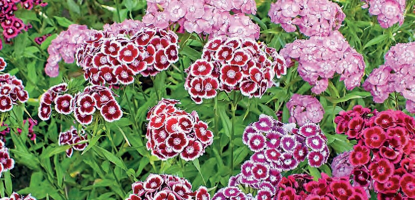 Flowers From Your Patch: Sweet William