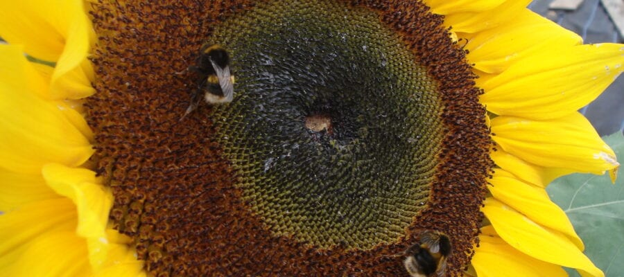 Bees 'get hooked' on neonicotinoids