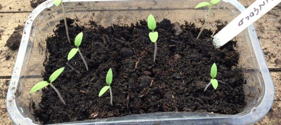 Leggy tomato seedlings?
