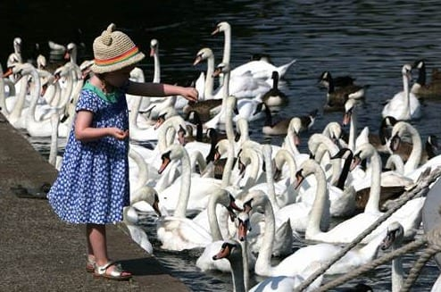 Lockdown SOS (Save our swans)