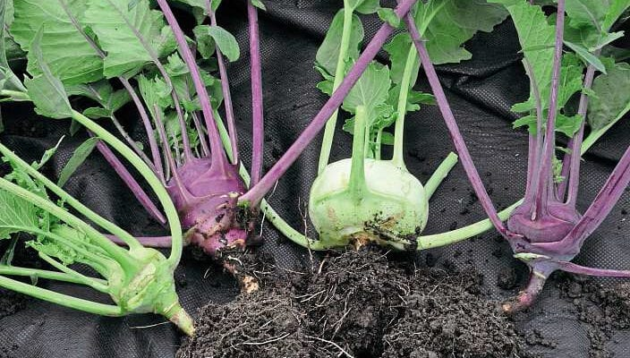 Tried and tasted kohl rabi