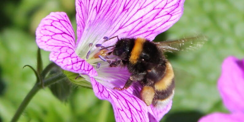 New study shows EU pesticide ban is failing to protect suburban bees