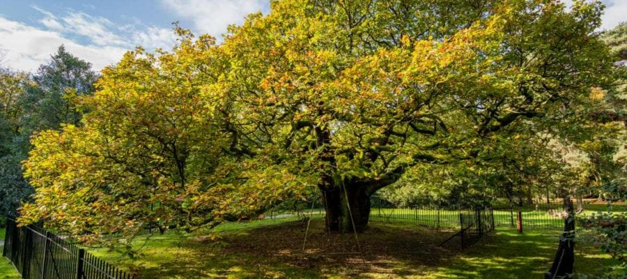 Liverpool's Allerton Oak crowned England's Tree of the Year