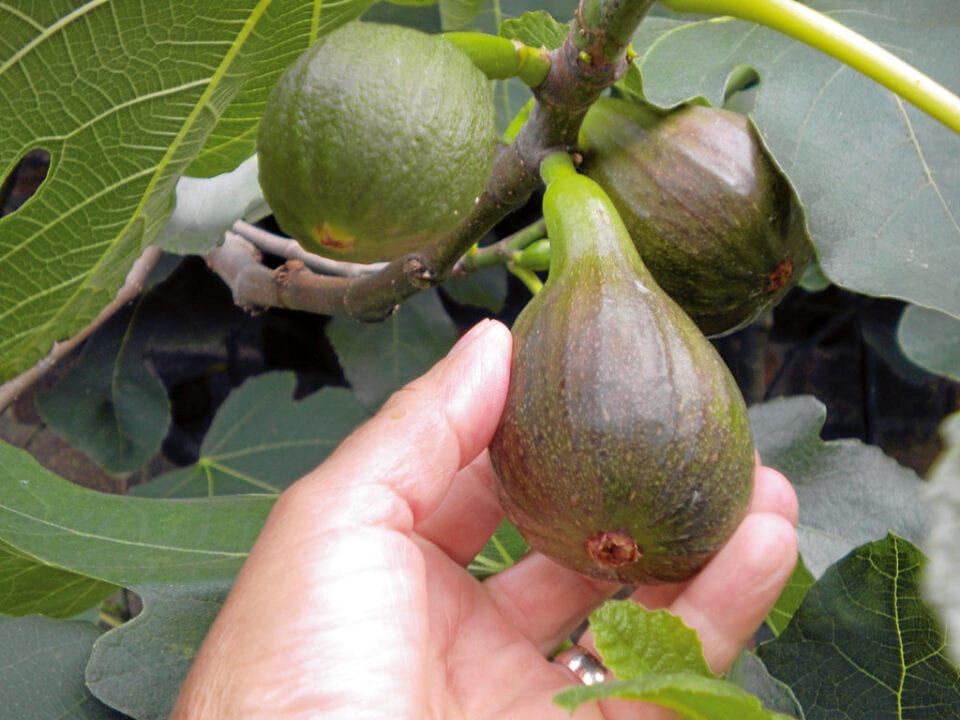A hand grasping an unripe fig on it's branch.