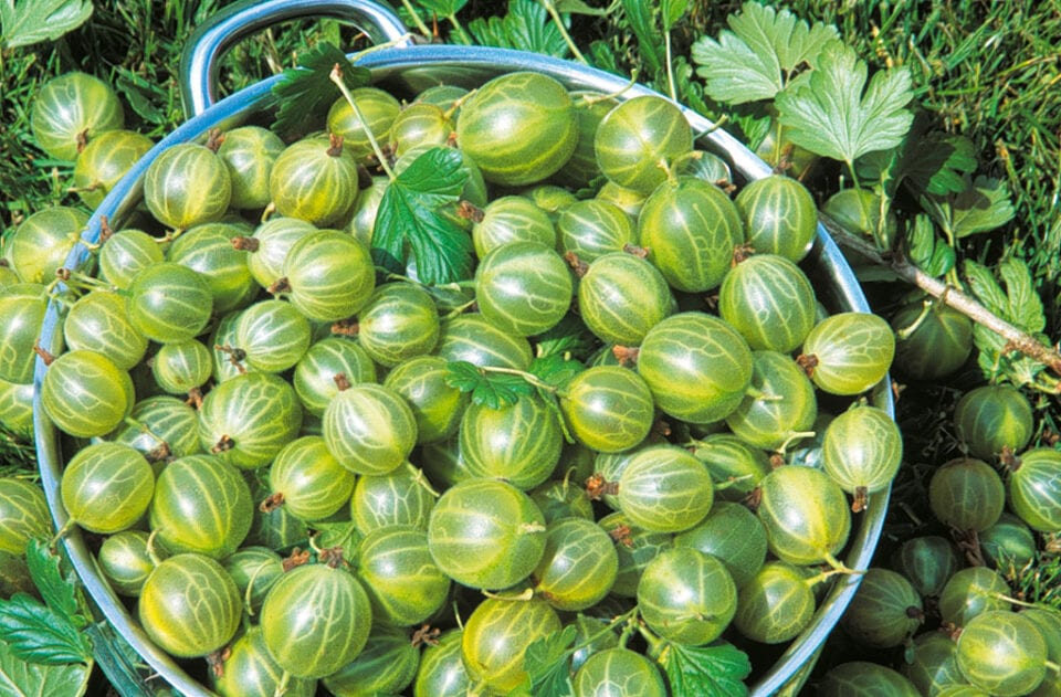 A bowl filled with gooseberries.