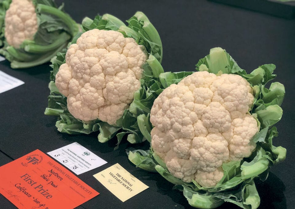 Two first prize winning Cauliflowers placed on a table.