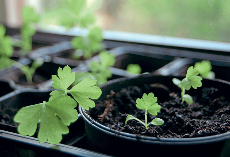 Sprouting celery plants in cell planters.
