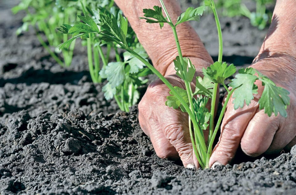 Celery plant being plated into soil.